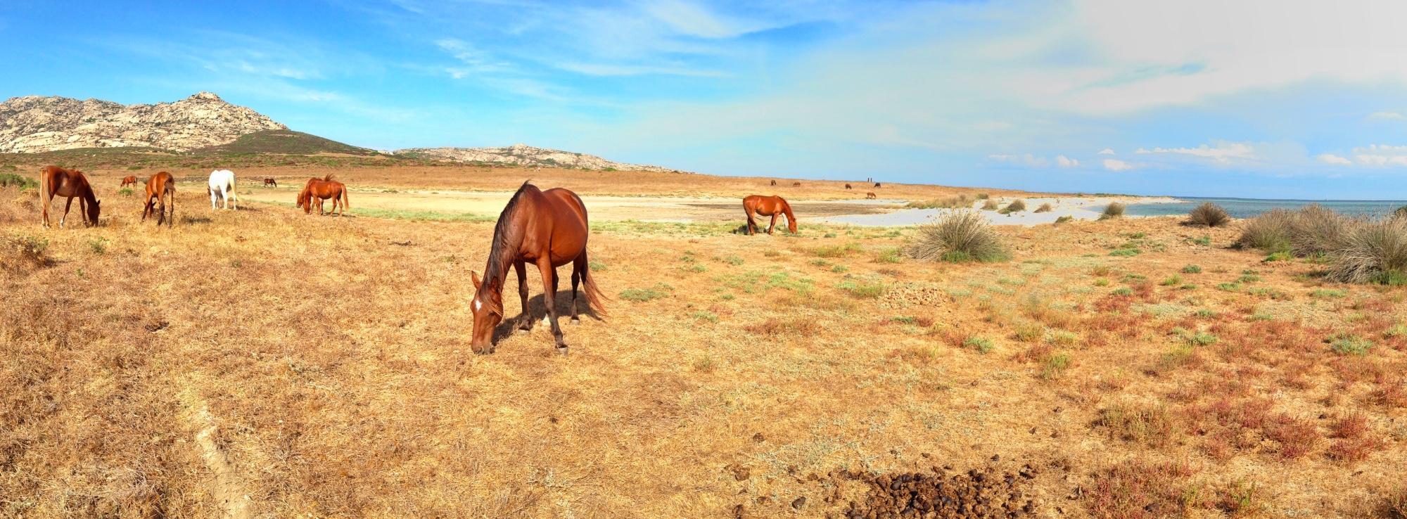 isola asinara cavalli