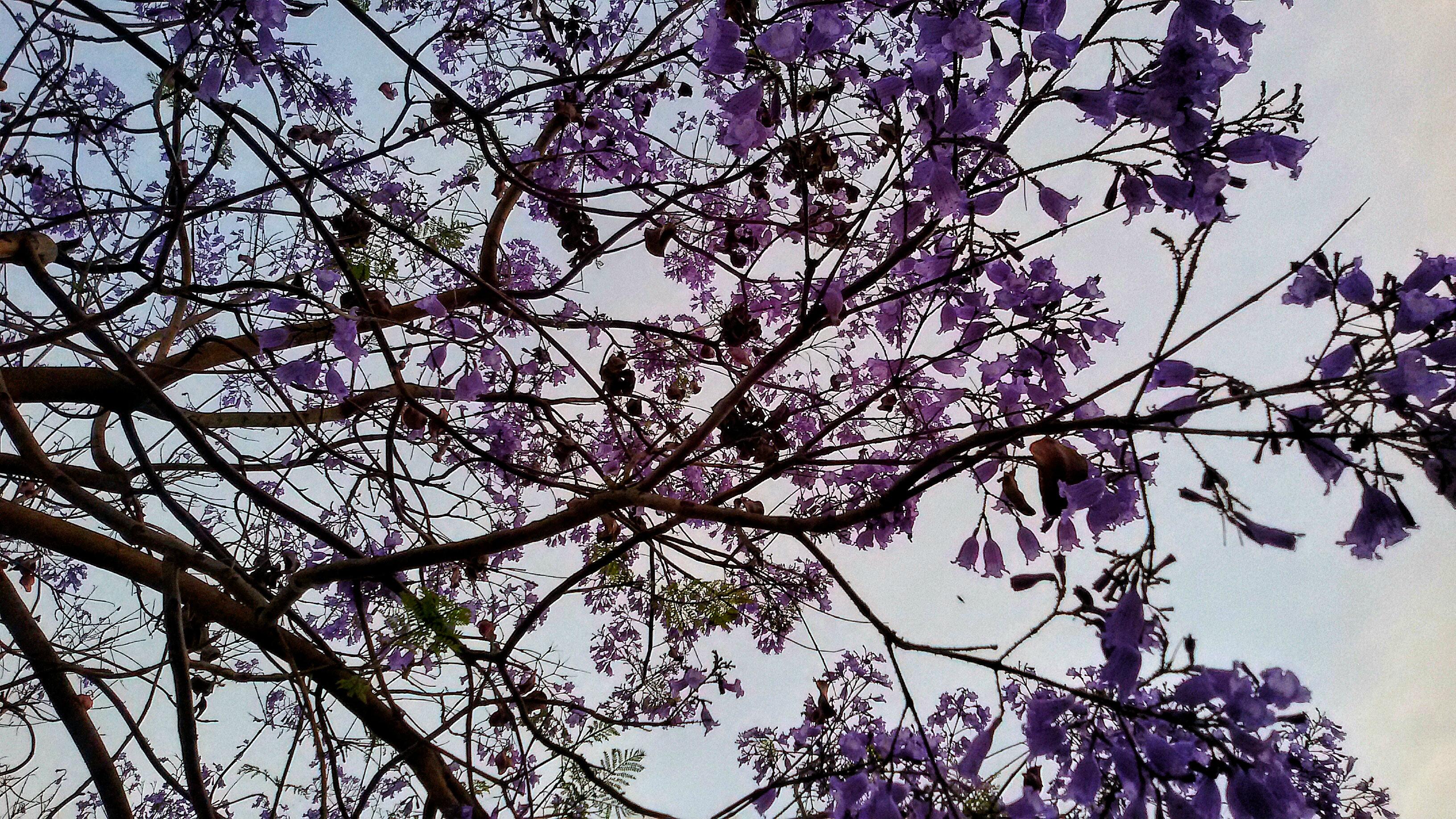 Jacaranda - particolare 2
