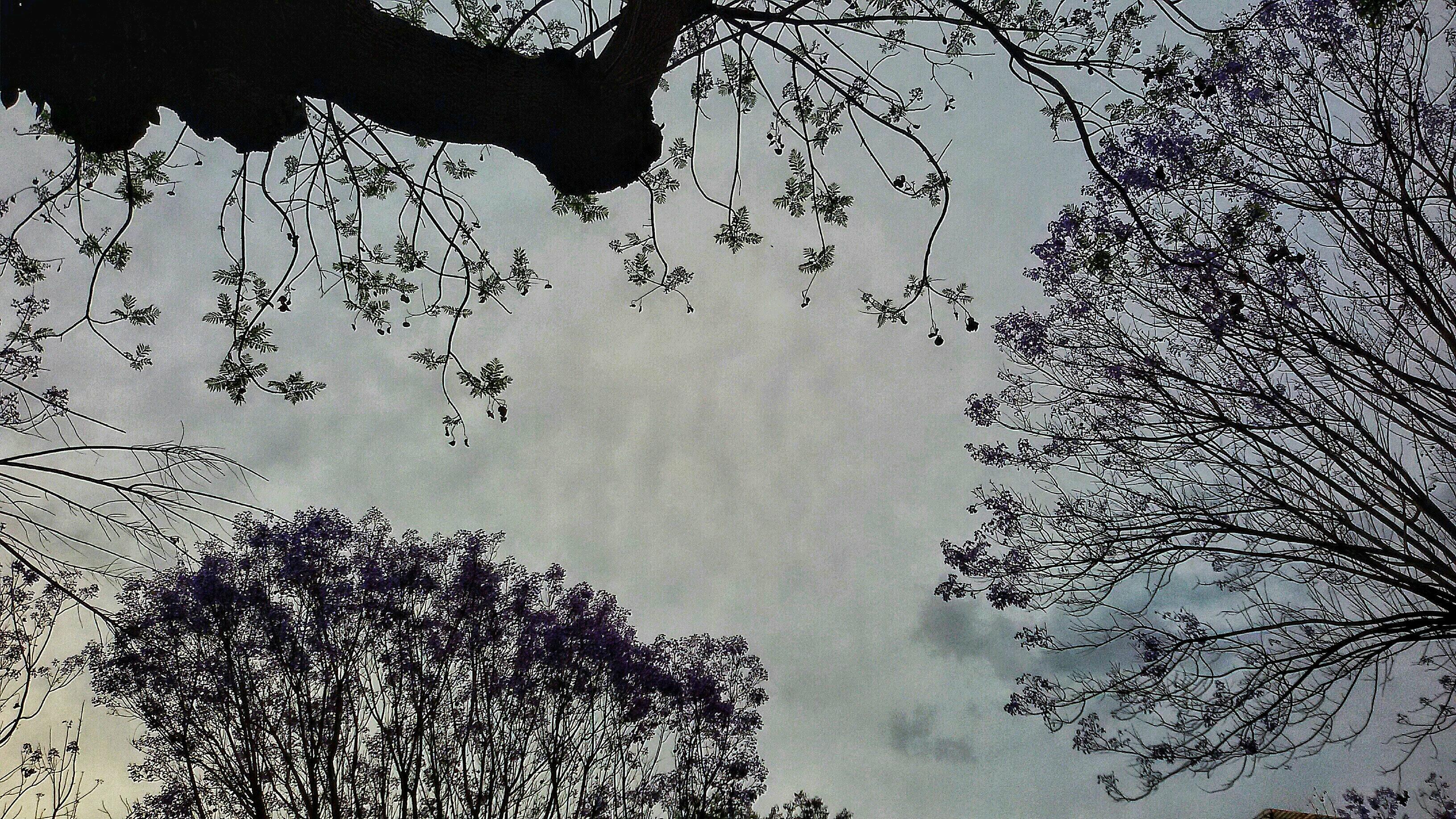 Jacaranda - particolare
